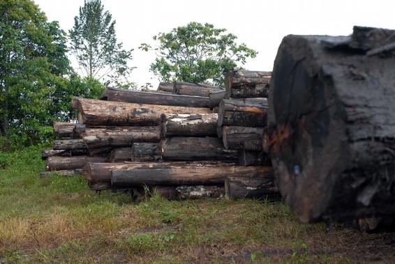 Madeira desmatada ilegalmente prejudica exportadores (Foto: divulgação)