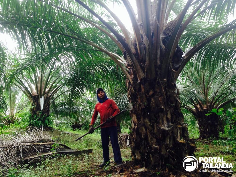 Tailândia é um dos maiores produtores de dendê do Brasil (Foto: Josenaldo Jr. / Portal Tailândia)