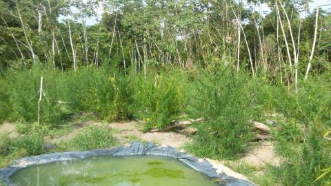 Pés de maconha em zona rural de Moju. (Foto: Divulgação/ Polícia Civil)