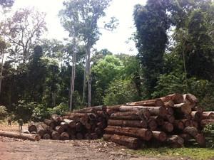 Entre os crimes cometidos está a exploração ilegal de madeira (Foto: Mayra Amboni/Ascom Ibama)