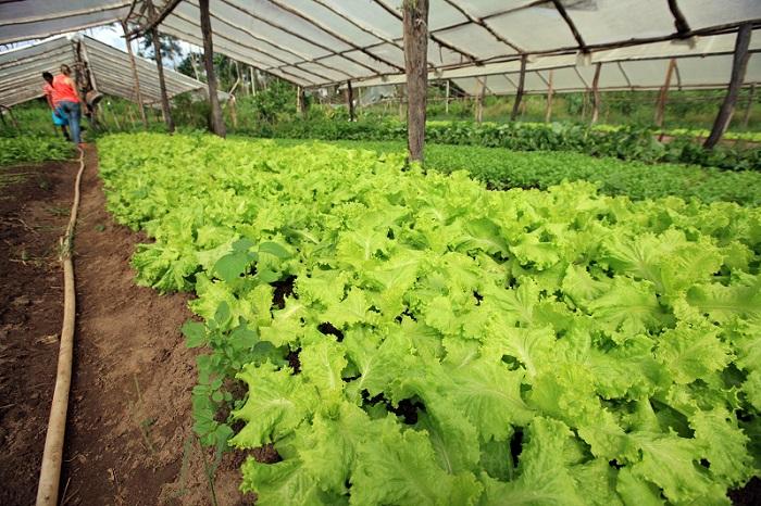 O Pará possui 3.300 produtores cadastrados como orgânicos, o maior número do Brasi (Foto Foto: MÁCIO FERREIRA/ AG. PARÁ)